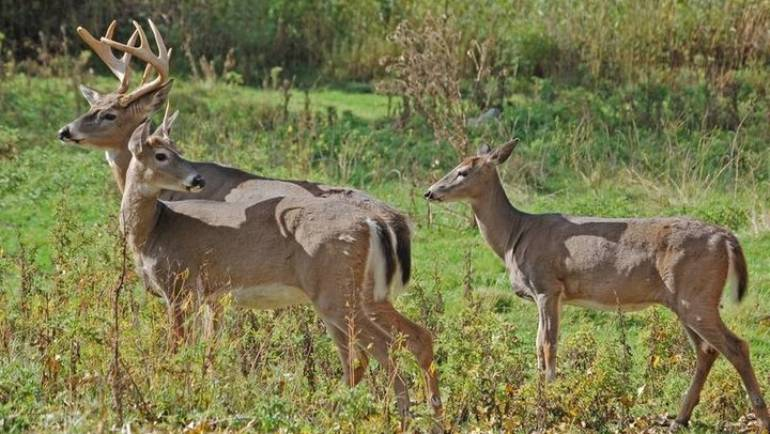 Car Vs Deer Crashes In MD Spike As Mating Season Arrives